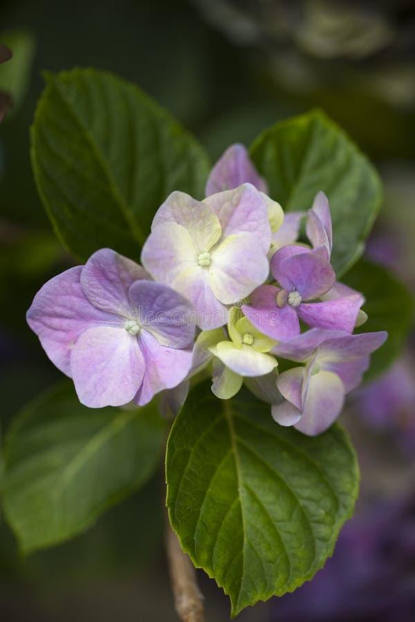 Flores púrpuras y poner crema de la hortensia foto de archivo
