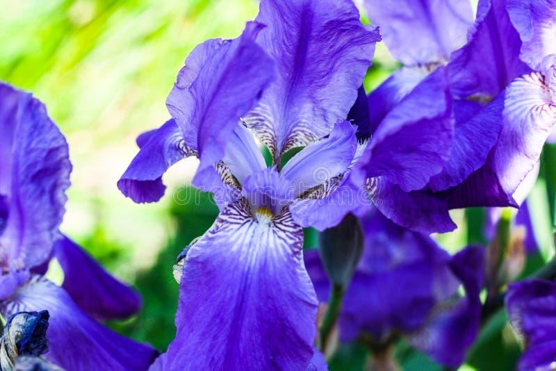 Flores p?rpuras en el sol imagen de archivo