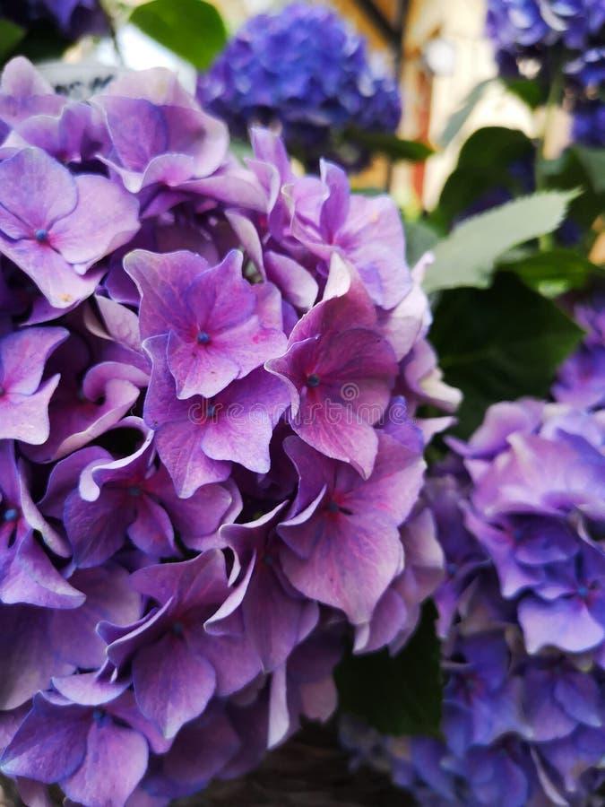 Flores p?rpuras y azules del hydrangea Flores florecientes de la hortensia imagen de archivo