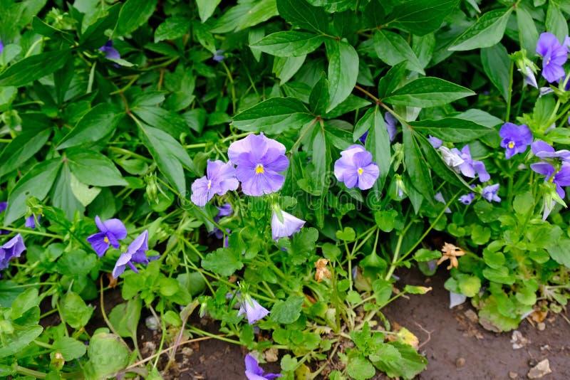 Flores pansas roxas no canteiro de verão foto de stock
