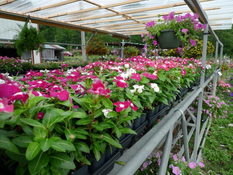 Flores para la venta, impatients de la producción de Joyce imagen de archivo