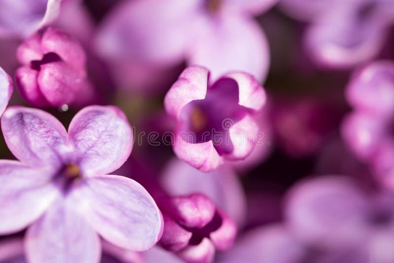 Flores pequenas bonitas do lilás Macro fotos de stock