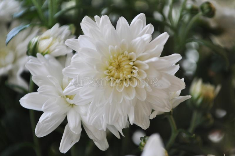 Flores pequenas bonitas macro Crisântemo branco do campo imagem de stock