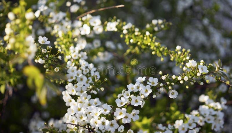Flores pequenas brancas de florescer o arguta herbáceo do Spiraea do arbusto do spirea, ou grinalda nupcial foto de stock
