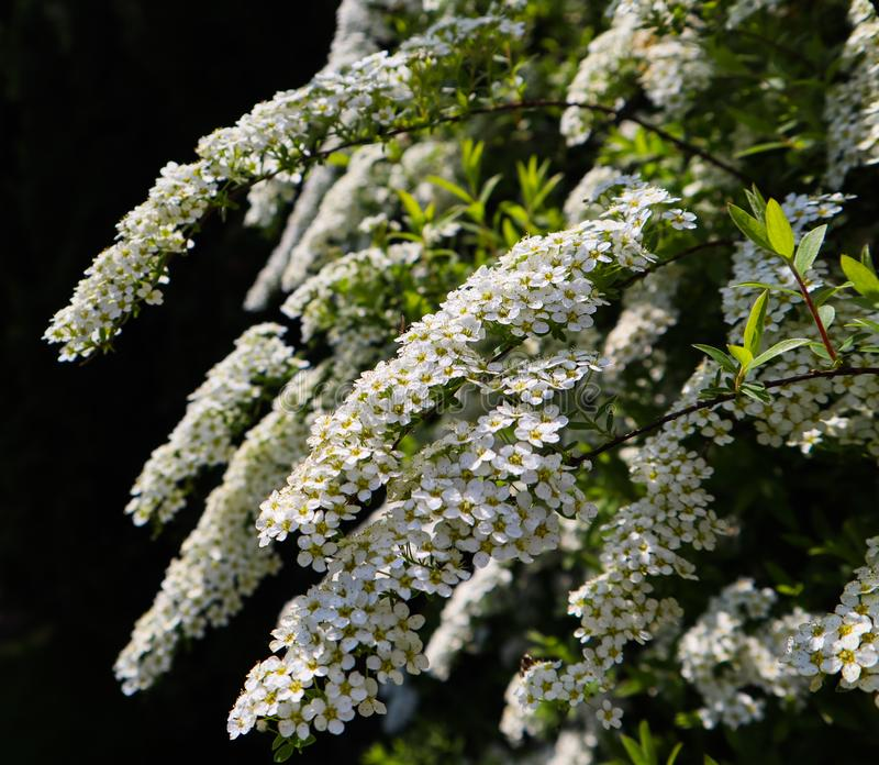 Flores pequenas brancas do arbusto do thunbergii do Spiraea do spirea de Thunberg na flor imagens de stock royalty free