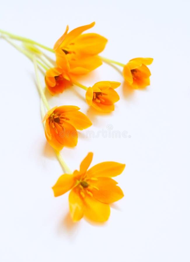 Flores pequenas da mola fotografia de stock
