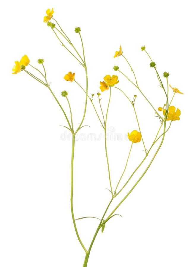 Flores pequenas do botão de ouro do ouro em hastes longas fotos de stock royalty free