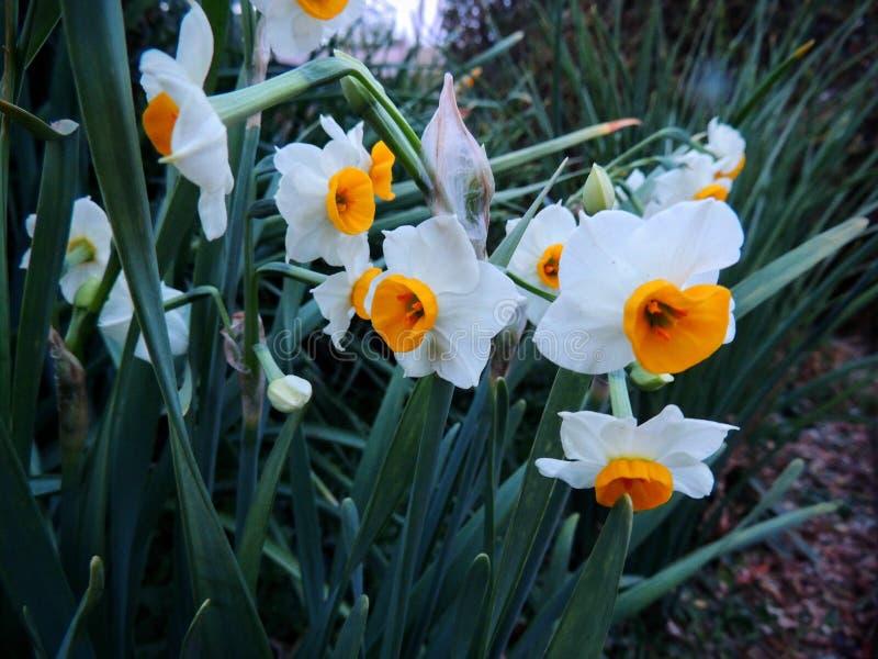 Flores pequenas do narciso amarelo do copo alaranjadas e fim ascendente do macro bonito bonito branco Narciso, gênero predominant fotografia de stock