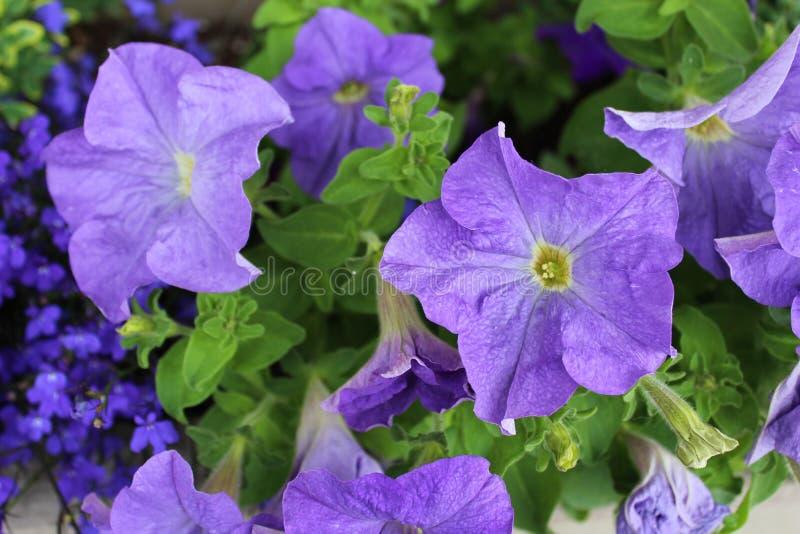 Flores petunias violetas florecen en verano imagen de archivo libre de regalías
