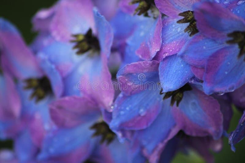 Flores: Pingos de chuva em delfínios imagens de stock