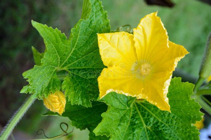 Flores pistiladas amarillas de un hispida de Benincasa fotos de archivo libres de regalías