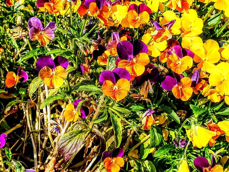 Flores preciosas y hermosas del pensamiento en colores hermosos imágenes de archivo libres de regalías