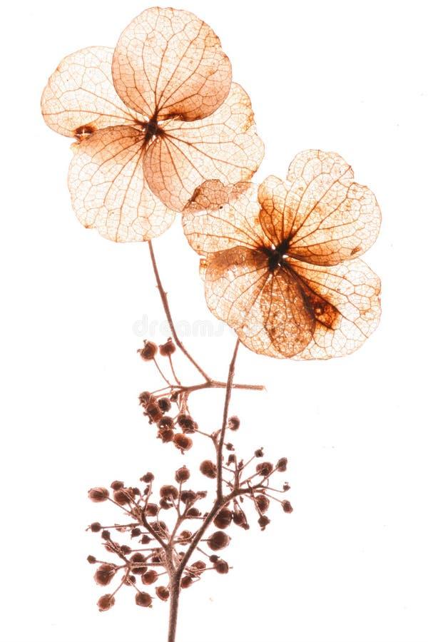 Flores presionadas fotos de archivo libres de regalías