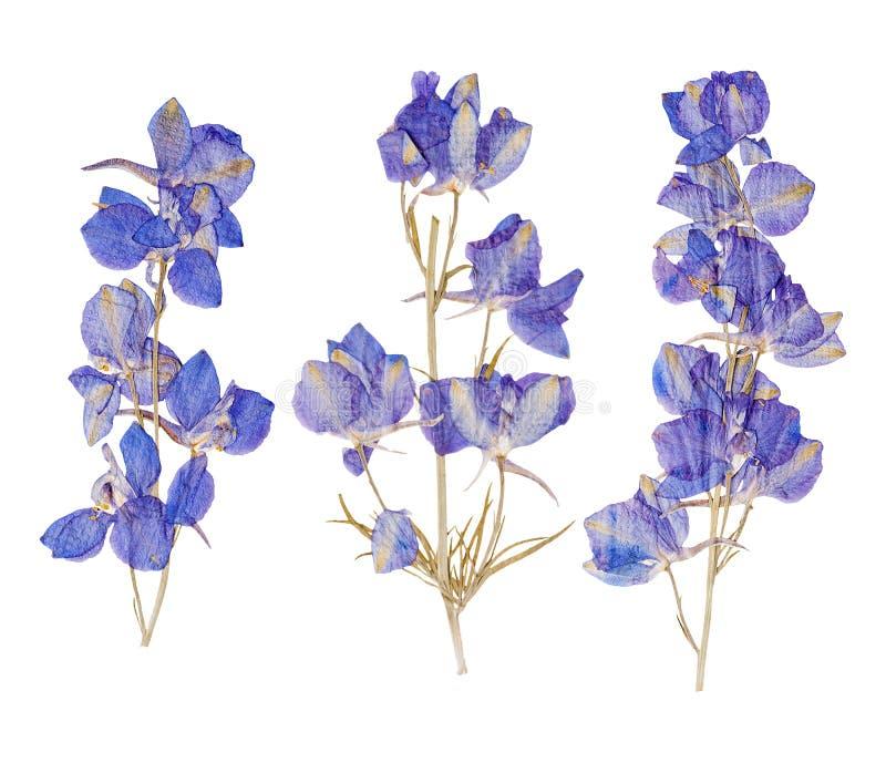Flores presionadas secadas azul fotografía de archivo