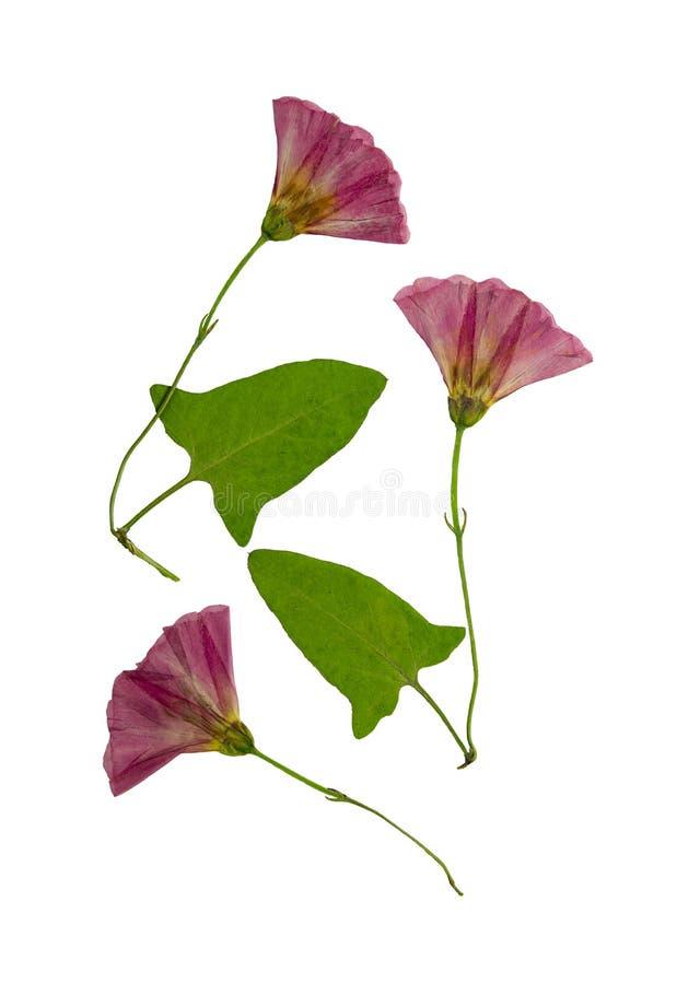 Flores presionadas y secadas de la enredadera Aislado imágenes de archivo libres de regalías