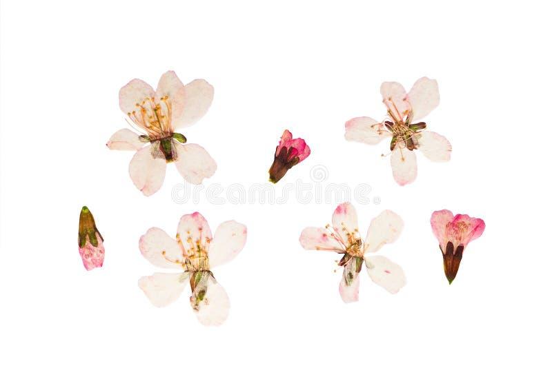 Flores presionadas y secadas de la estepa de аlmond Aislado imágenes de archivo libres de regalías