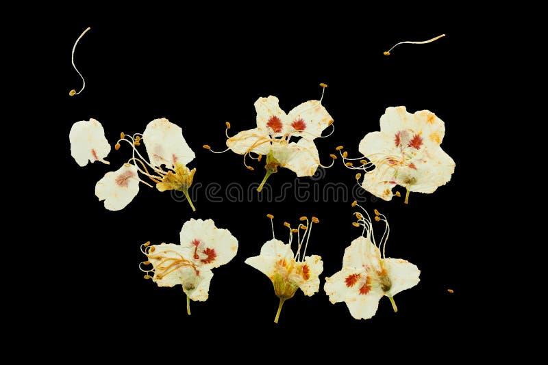 Flores pressionadas e secadas da ameixa fotos de stock royalty free
