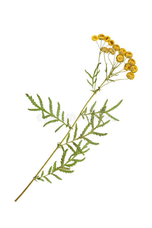 Flores pressionadas e secadas do tanacetum de Ñ€ do ¾ do tansy Ð fotos de stock royalty free