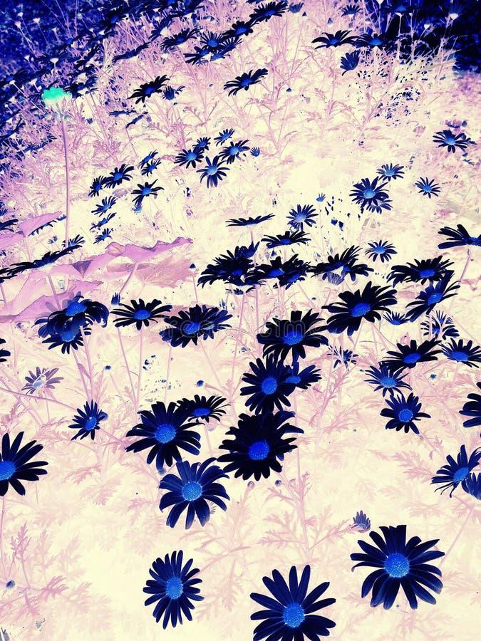 Flores pretas fotografia de stock royalty free