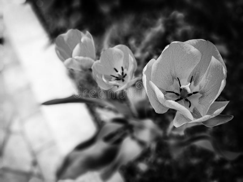 Flores preto e branco imagens de stock