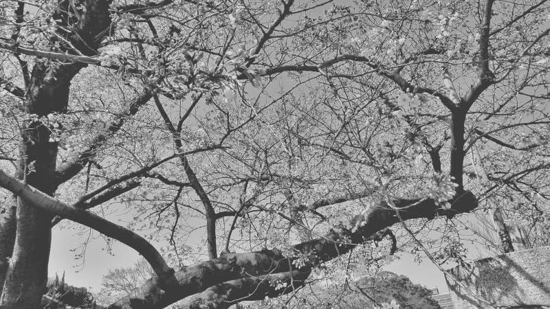 flores preto e branco dos ramos de sakura no parques fotos de stock