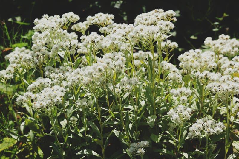 Flores principais do Astrantia branco bonito imagens de stock royalty free
