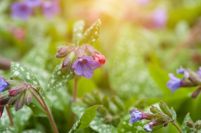 Flores Pulmonaria Officinalis de Lungwort fotos de stock