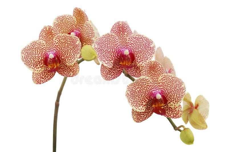 Flores punteadas rojas de la orquídea del Phalaenopsis aisladas en el fondo blanco imagen de archivo libre de regalías