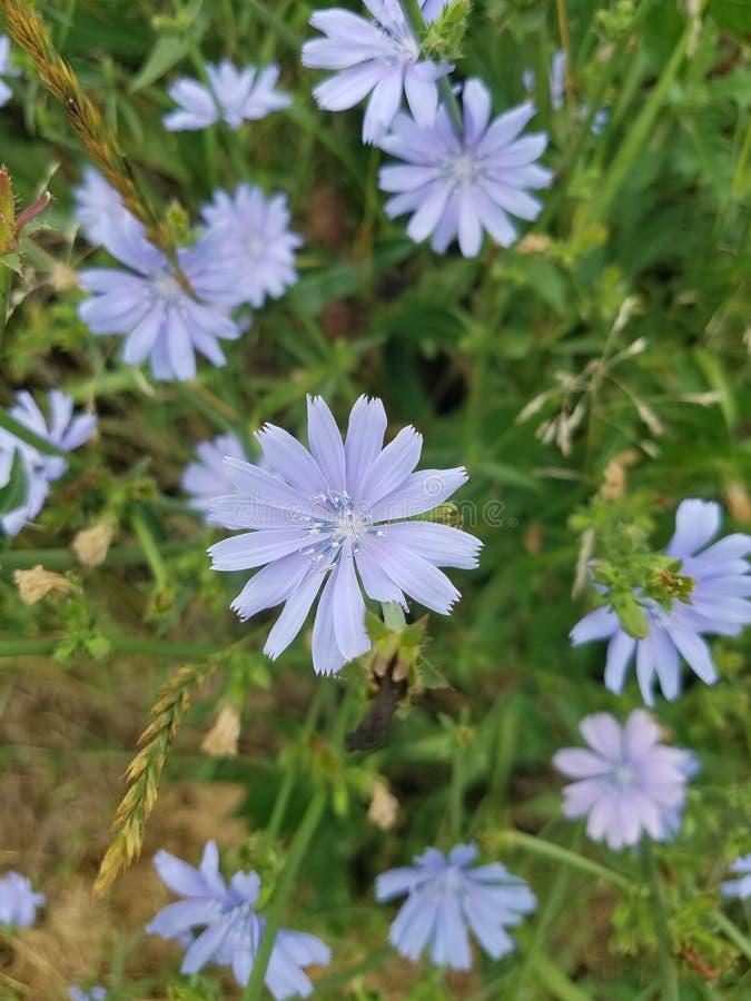 Flores purpúreas claras de la achicoria con follaje verde imagenes de archivo