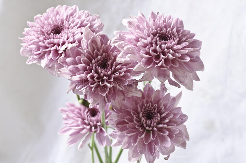 Flores purpúreas claras del crisantemo en blanco sucio imagen de archivo libre de regalías