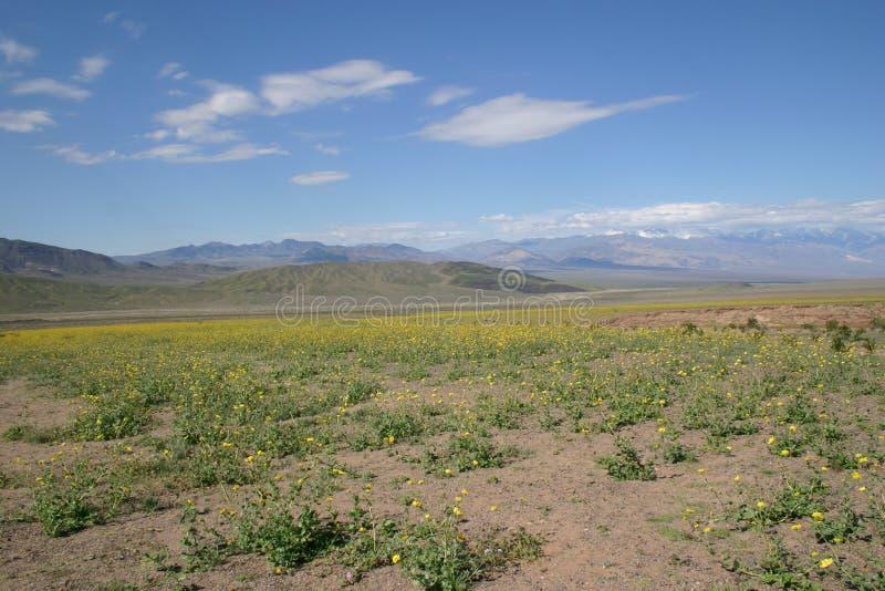 Flores que florecen en Death Valley foto de archivo libre de regalías