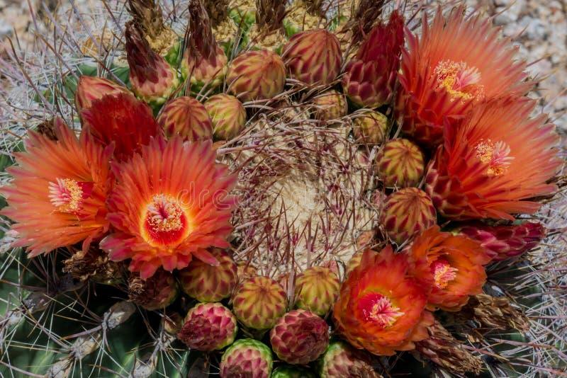 Flores que florecen en el cactus de barril de Arizona foto de archivo