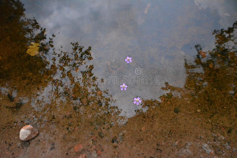 Flores que flutuam na água foto de stock royalty free