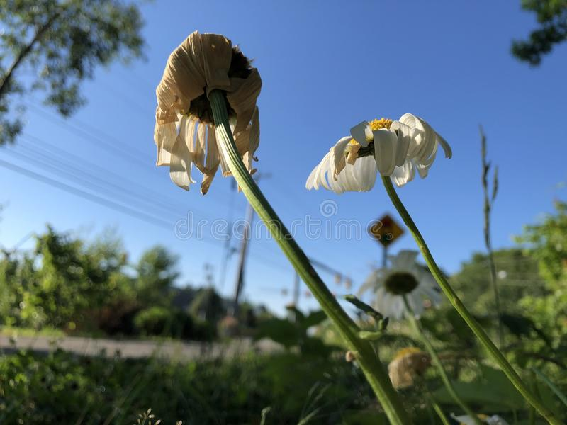 Flores que se secan en el Sun fotografía de archivo libre de regalías