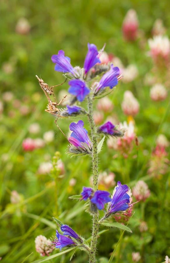 Flores raras de la púrpura del insecto del predicador de Conehead imagen de archivo libre de regalías