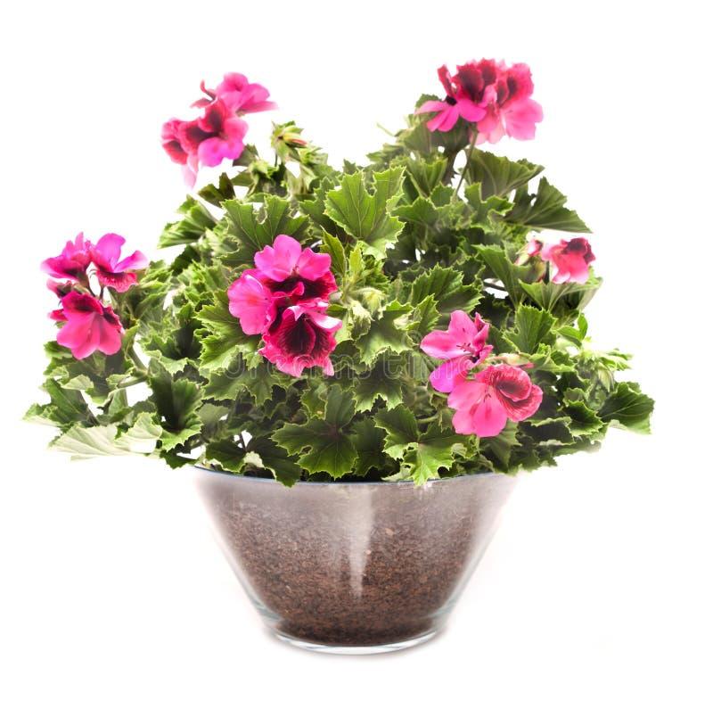Flores reales del Pelargonium imagen de archivo libre de regalías