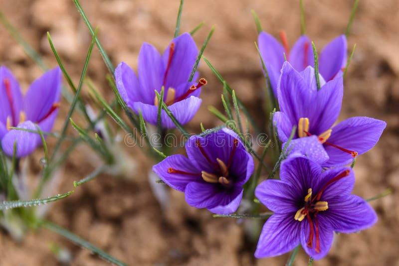 Flores recentemente abertas do açafrão imagem de stock