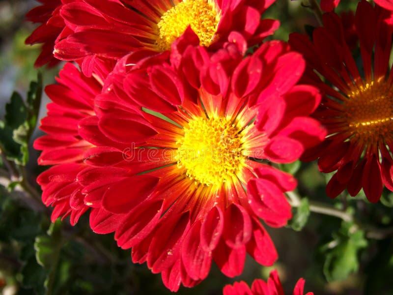 Flores rojas imagen de archivo