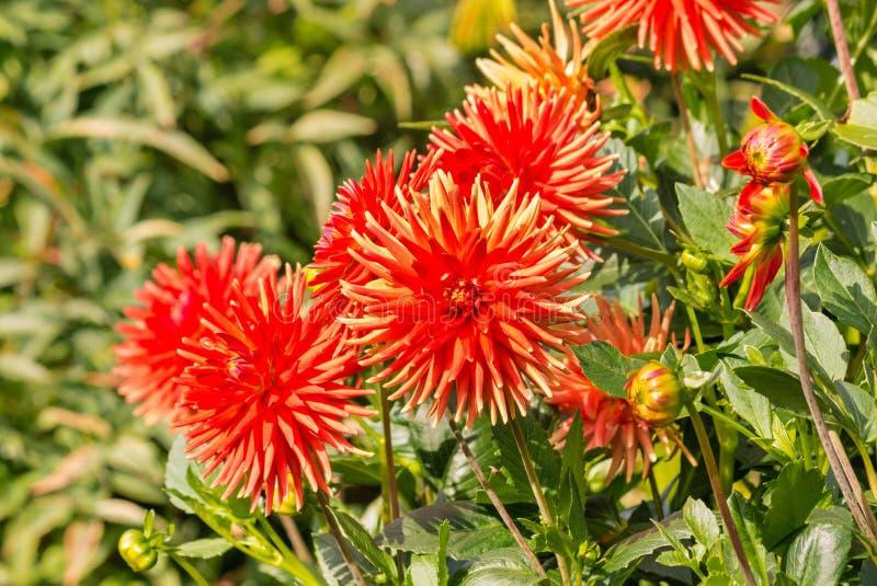 Flores rojas brillantes de la dalia en la floración en jardín con el fondo borroso imagen de archivo