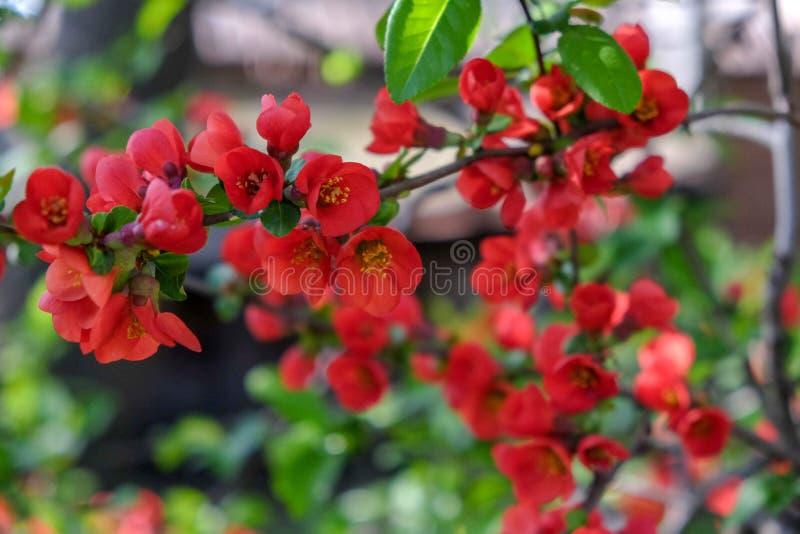 Flores rojas con las hojas verdes fotografía de archivo