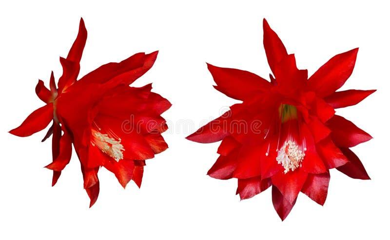 Flores rojas de Epiphyllum en un fondo blanco foto de archivo libre de regalías