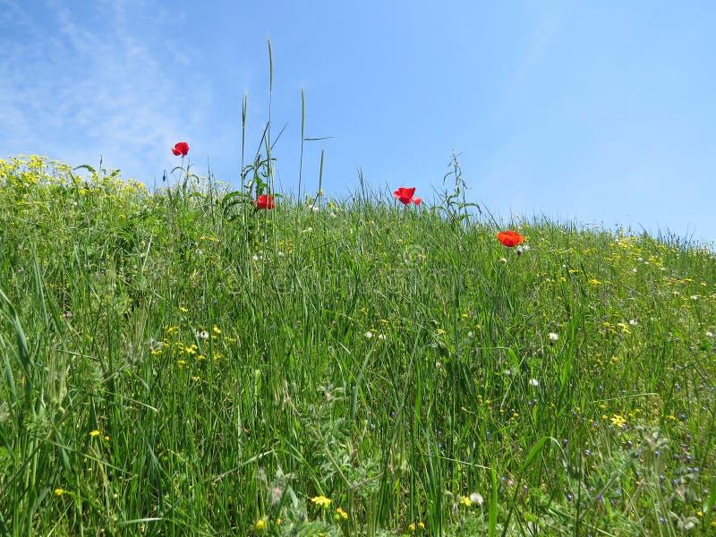Flores rojas de la amapola en prado de la primavera foto de archivo