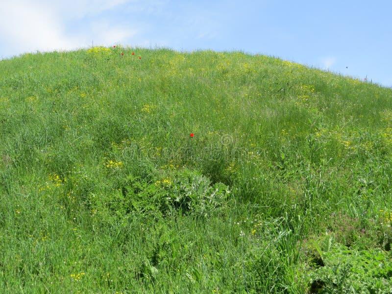 Flores rojas de la amapola en prado de la primavera imagenes de archivo