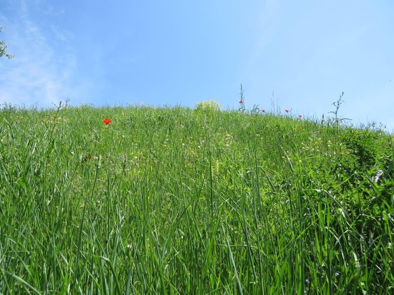 Flores rojas de la amapola en prado de la primavera imágenes de archivo libres de regalías