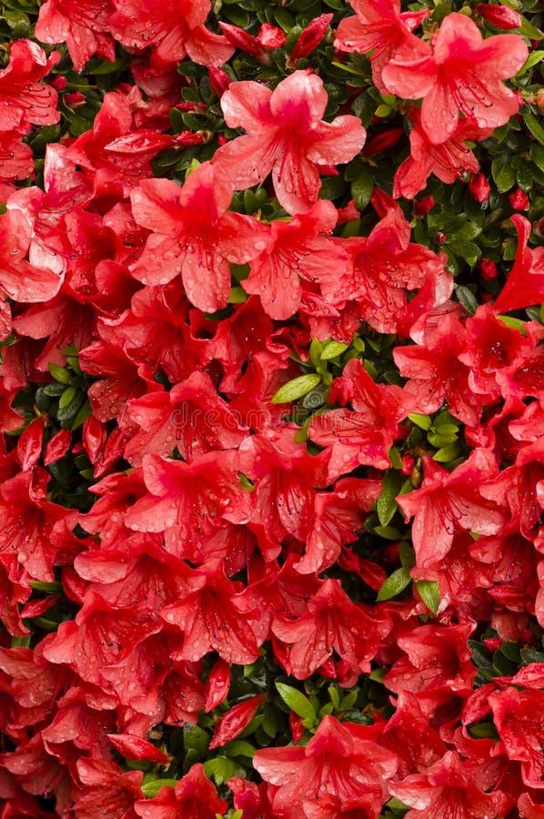 Flores rojas de la azalea fotos de archivo