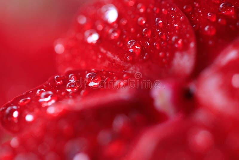 Flores rojas de la begonia con descensos de rocío imagenes de archivo