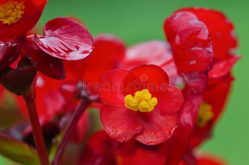 Flores rojas de la begonia ornamental foto de archivo libre de regalías