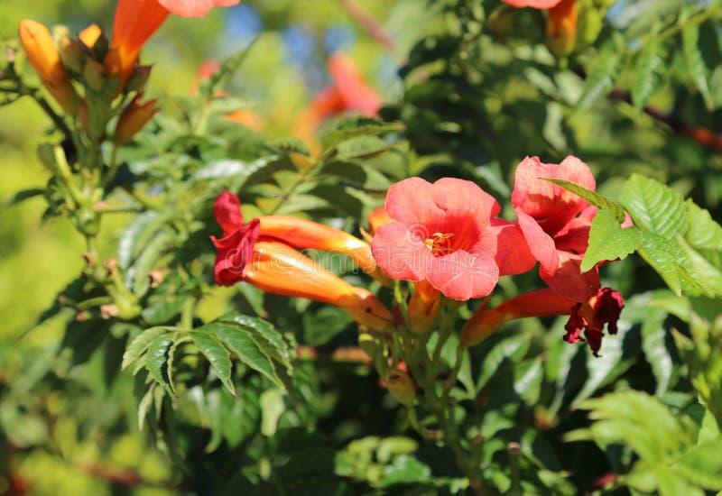 flores rojas de la granada en verano imagen de archivo