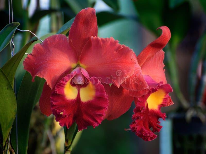 Flores rojas de la orquídea - Cattleya fotos de archivo