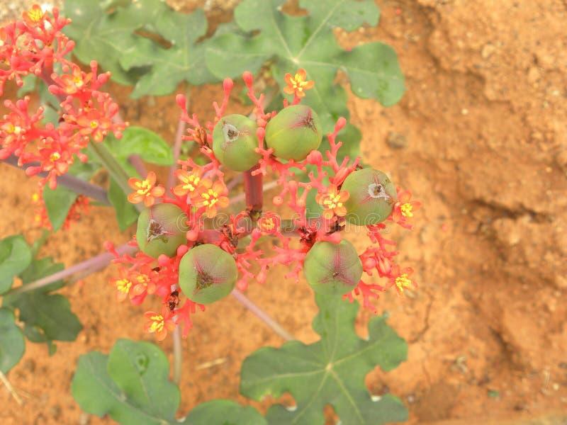 Flores rojas de la planta del podagrica del Jatropha fotos de archivo